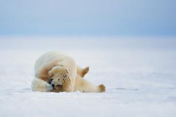 обоя животные, медведи, зима, природа, белые