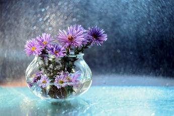 обоя цветы, астры, боке