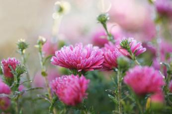 обоя цветы, астры, изморозь, осень, холод, розовый