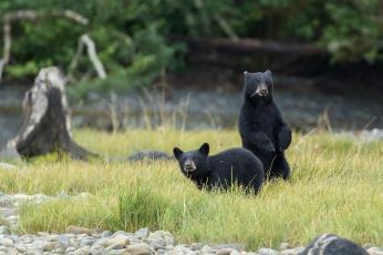 обоя животные, медведи, черные, поле, природа, пара