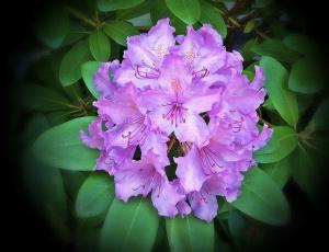 Картинка цветы рододендроны азалии листья тёмный