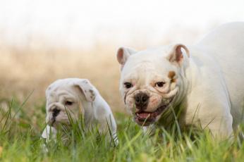 Картинка животные собаки английский бульдог щенок улыбка трава
