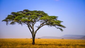 Картинка природа деревья простор горы акация саванна зонтичная