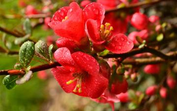 Картинка цветы айва листья ветка капли