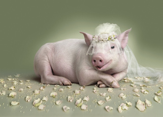 Картинка юмор+и+приколы обручальное кольцо невеста фата свинья