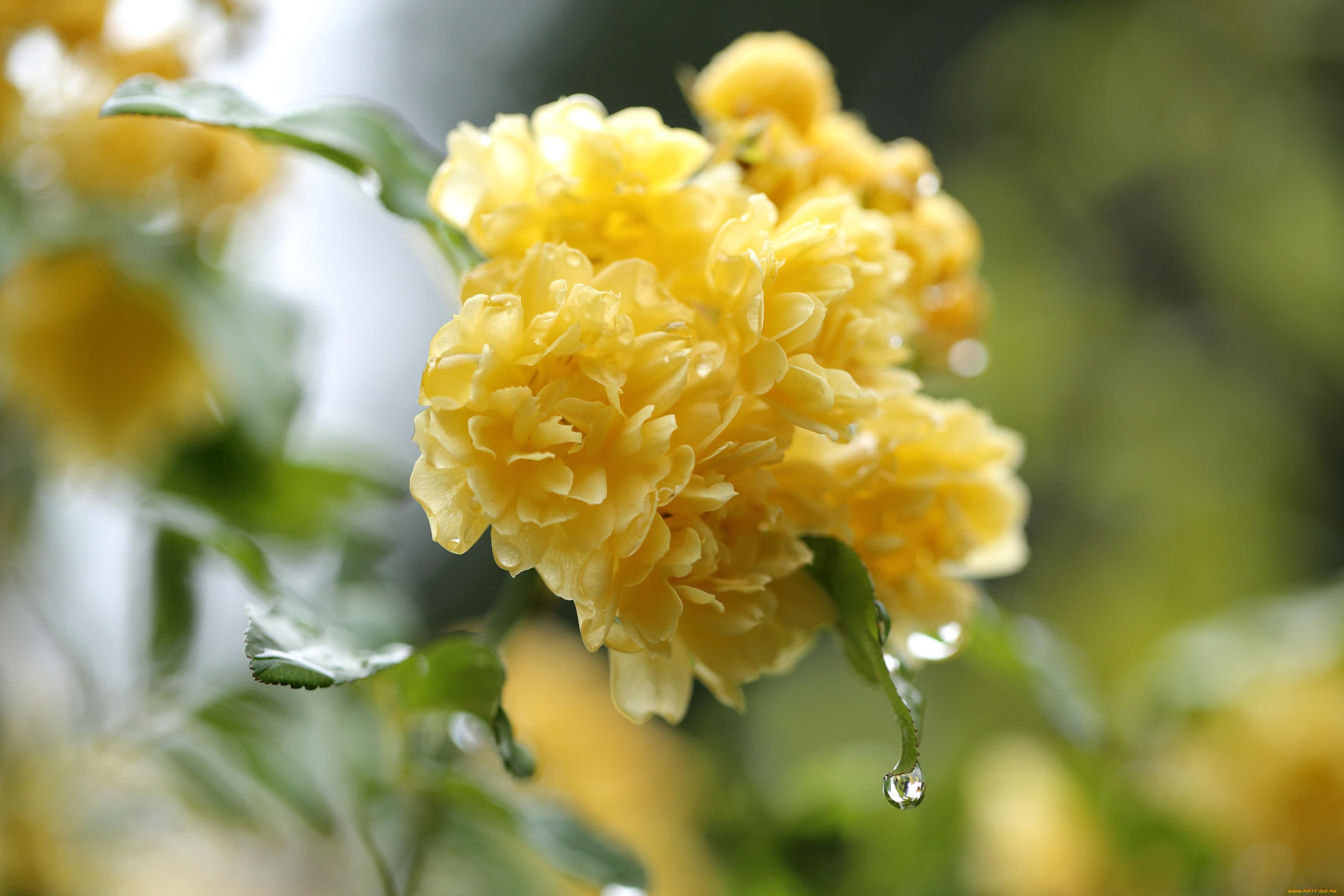 Желтый распустившийся цветок  № 731665  скачать