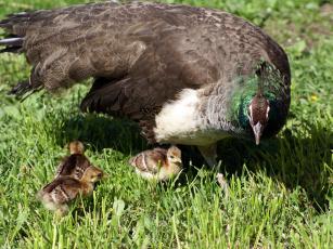 обоя курочка, павлина, цыплятами, животные, павлины