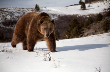 Картинка животные медведи хищник снег