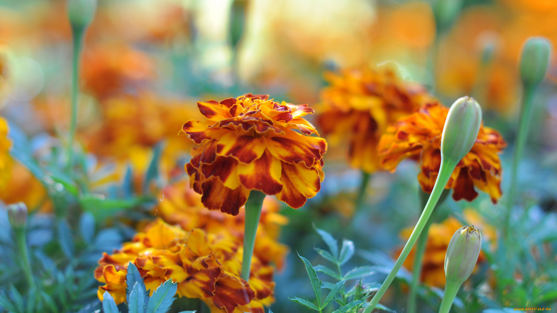 природа оранжевые цветы Бархатцы загрузить