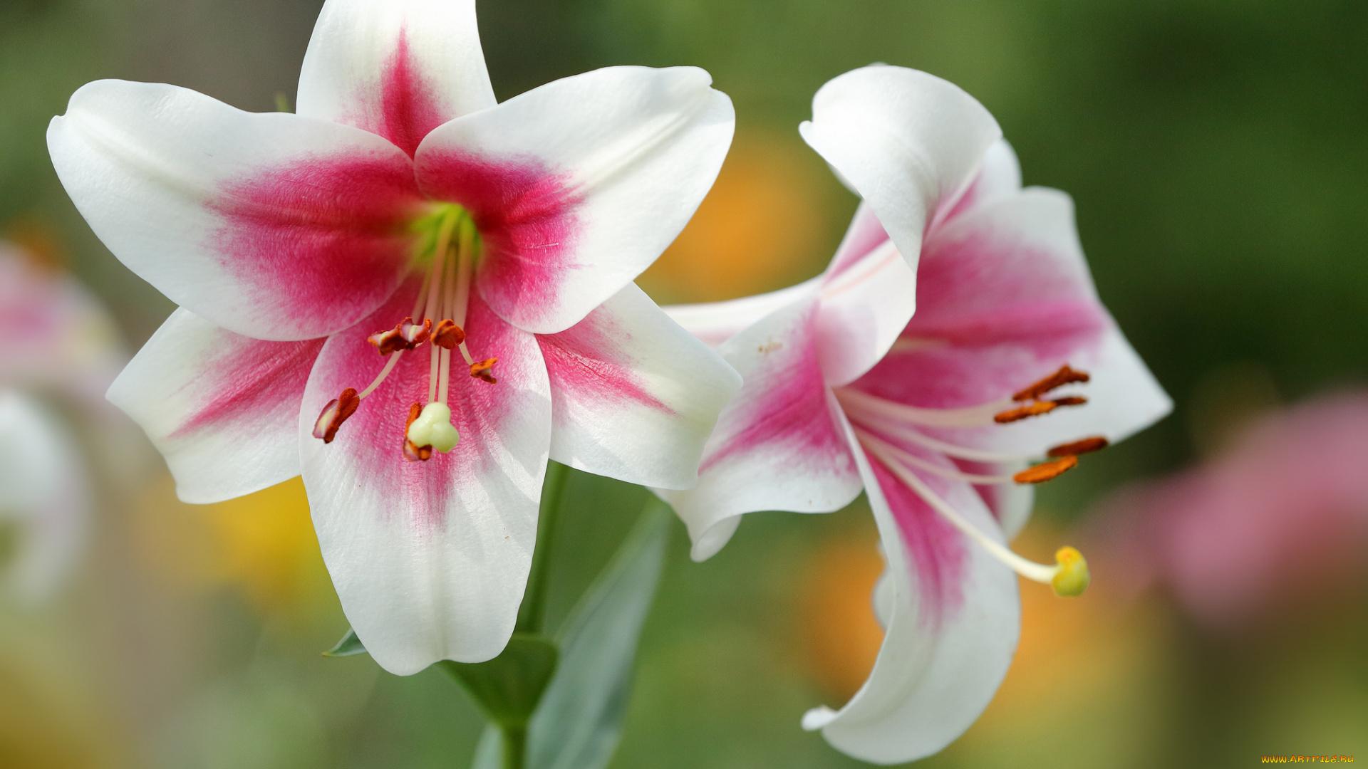 Фото бутон и цветок лилии