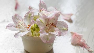 обоя цветы, альстромерия, ваза, капли, бутоны