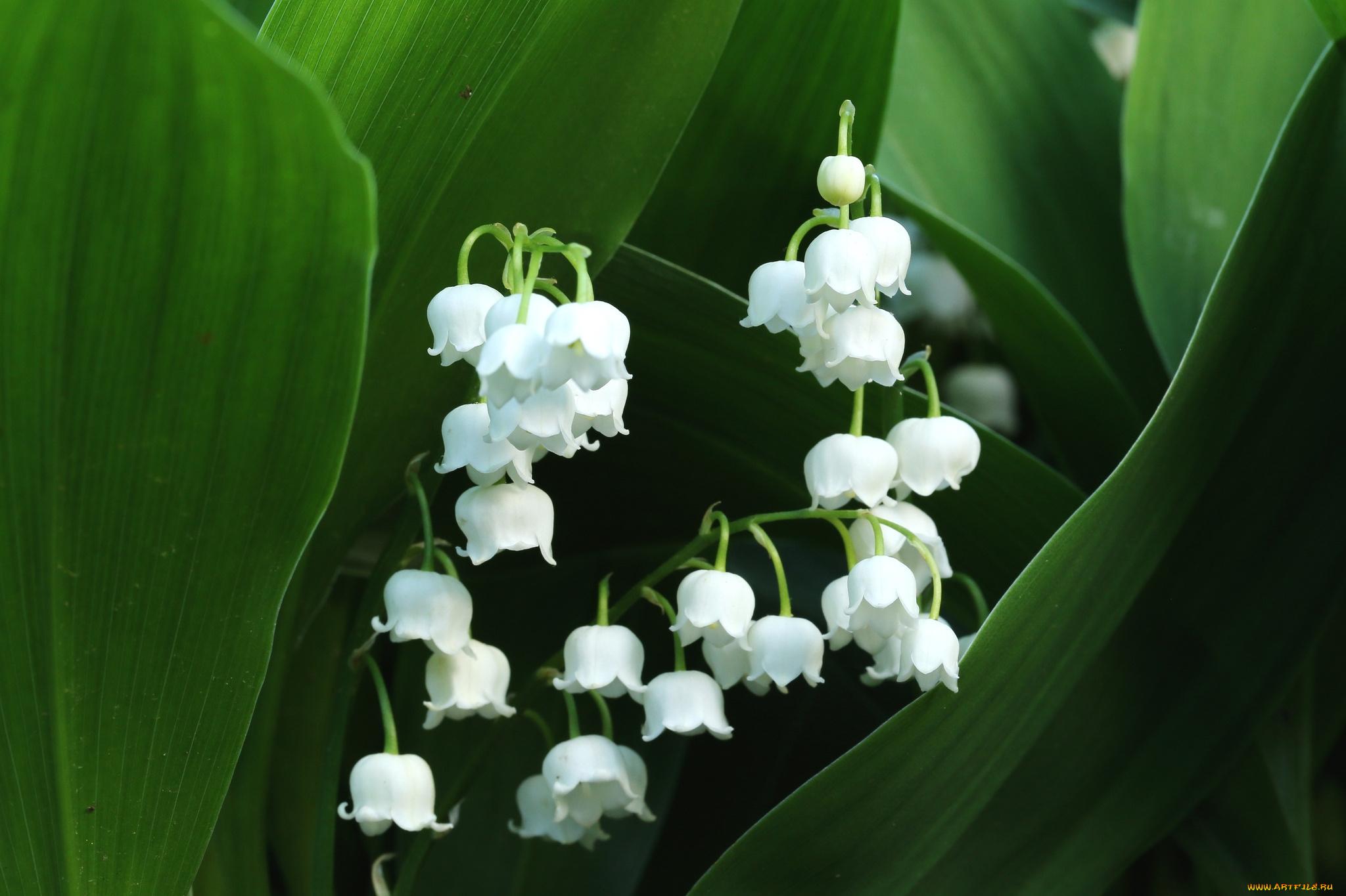 Цветы белые ландыши  № 1608795 загрузить