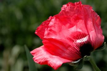 Картинка цветы маки макро