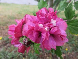 обоя цветы, пионы, капли, розовый, листья, ветка