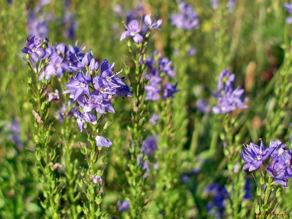 Луковые цветы названия и фото