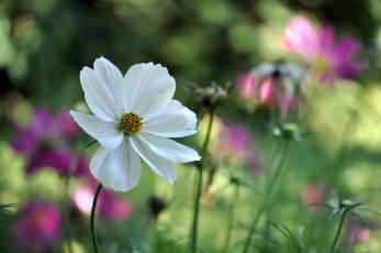 Картинка цветы космея белый