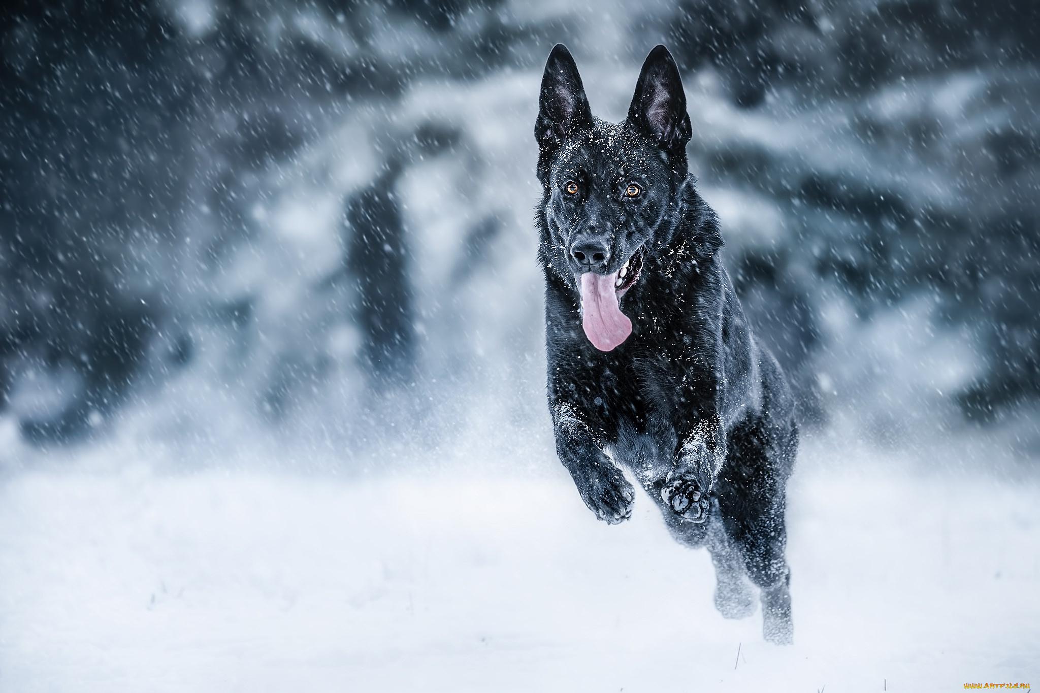 Овчарка в снегу  № 836555 бесплатно