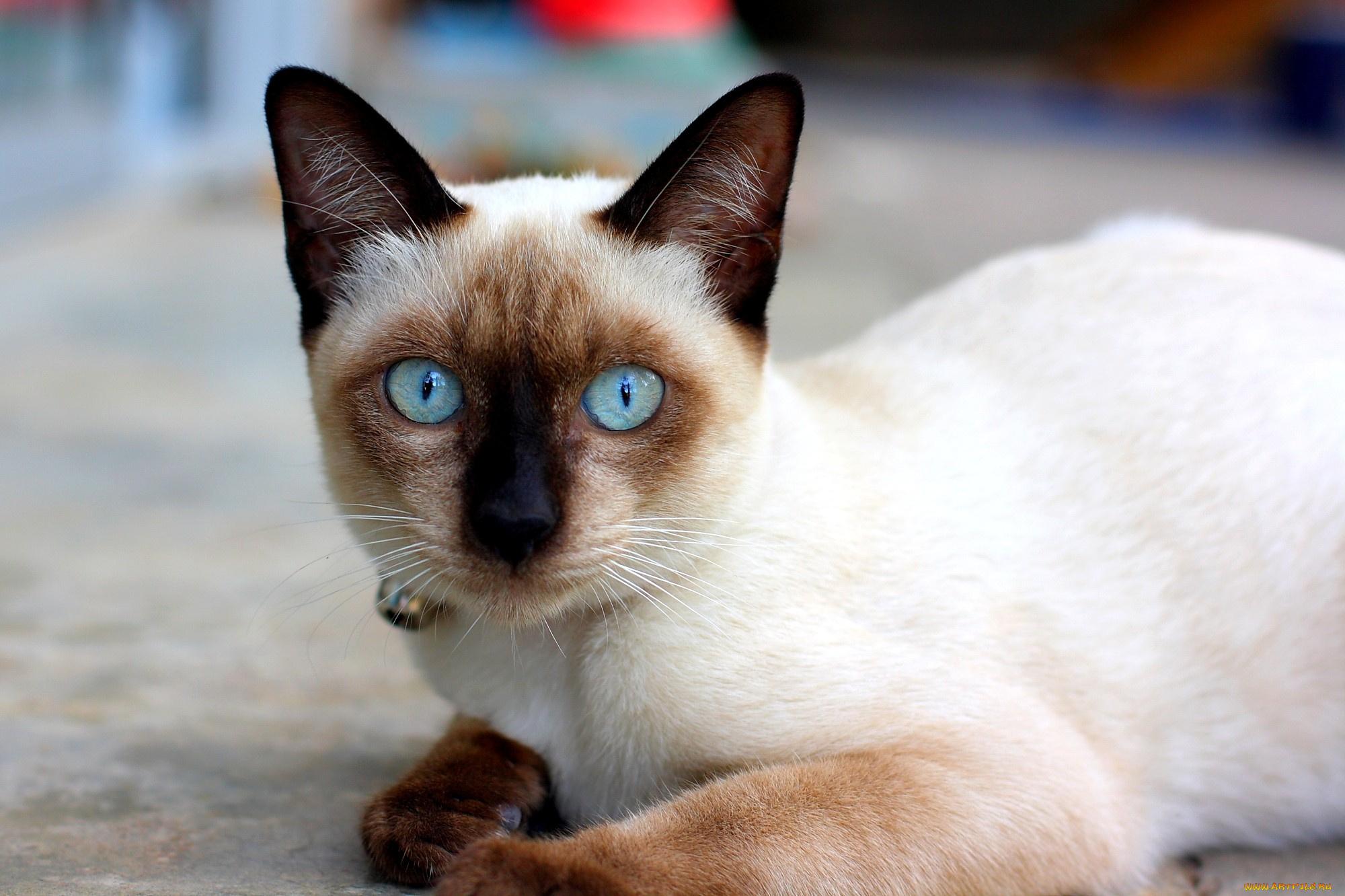 Картинки с сиамскими котами, людмила хитяева открытка