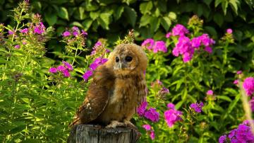 Картинка животные совы сова цветы