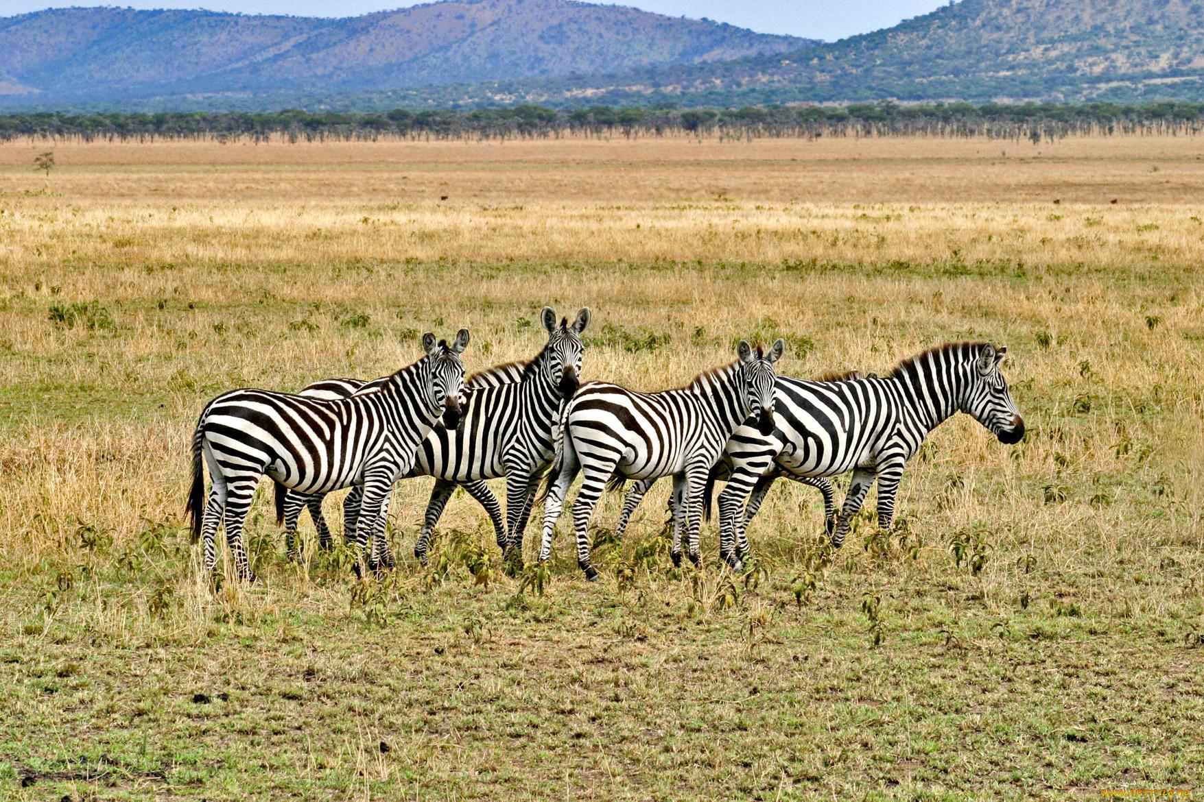 Зебры в поле скачать