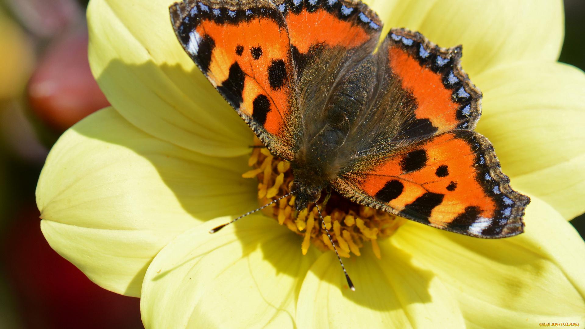 Бабочка на желтом цветке онлайн