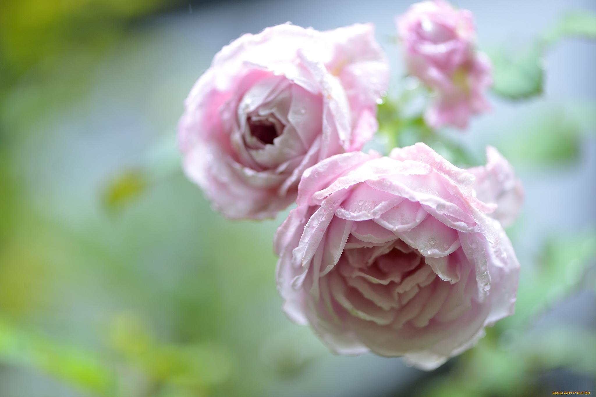 Чайная роза без смс