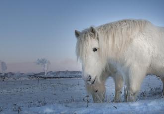 обоя животные, лошади, зима