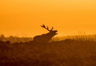 обоя животные, олени, закат, силуэт, трава, небо, олень, рога