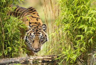 обоя животные, тигры, тигр, бамбук, водопой, взгляд