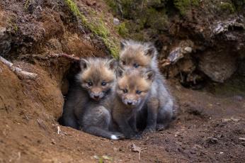 обоя животные, лисы, лисичка