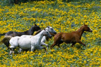 обоя животные, лошади, галоп, луга, цветы