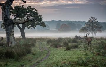 обоя животные, олени, олень, утро, туман