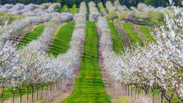 Картинка природа поля сад весна вишня деревья цветение трава