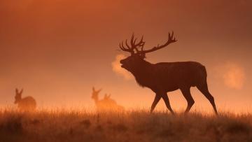 обоя животные, олени, туман, утро