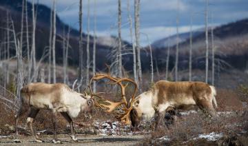 обоя животные, олени