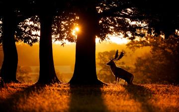 обоя животные, олени, лань, деревья, силуэт, рога