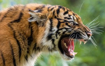 обоя животные, тигры, тигр, хищник, оскал, злюка, дикая, кошка, морда