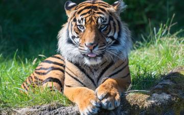 обоя животные, тигры, тигр, морда, язык
