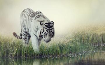 обоя животные, тигры, вода, white, tiger, фон, тигр, размытие, водопой, трава, белый, полосатый