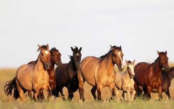 обоя животные, лошади, бег, поле