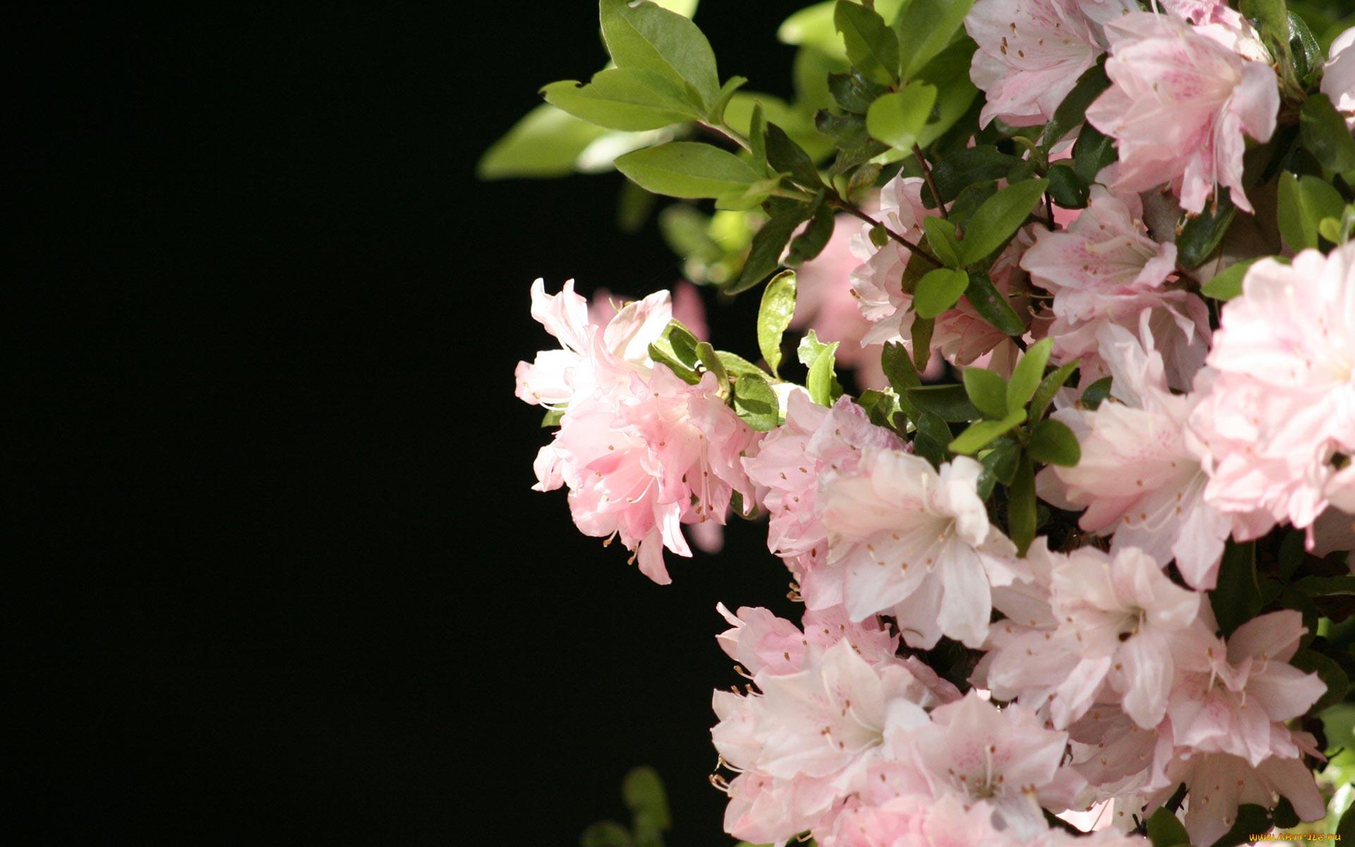азалия лепестки цветы  № 3898164 загрузить