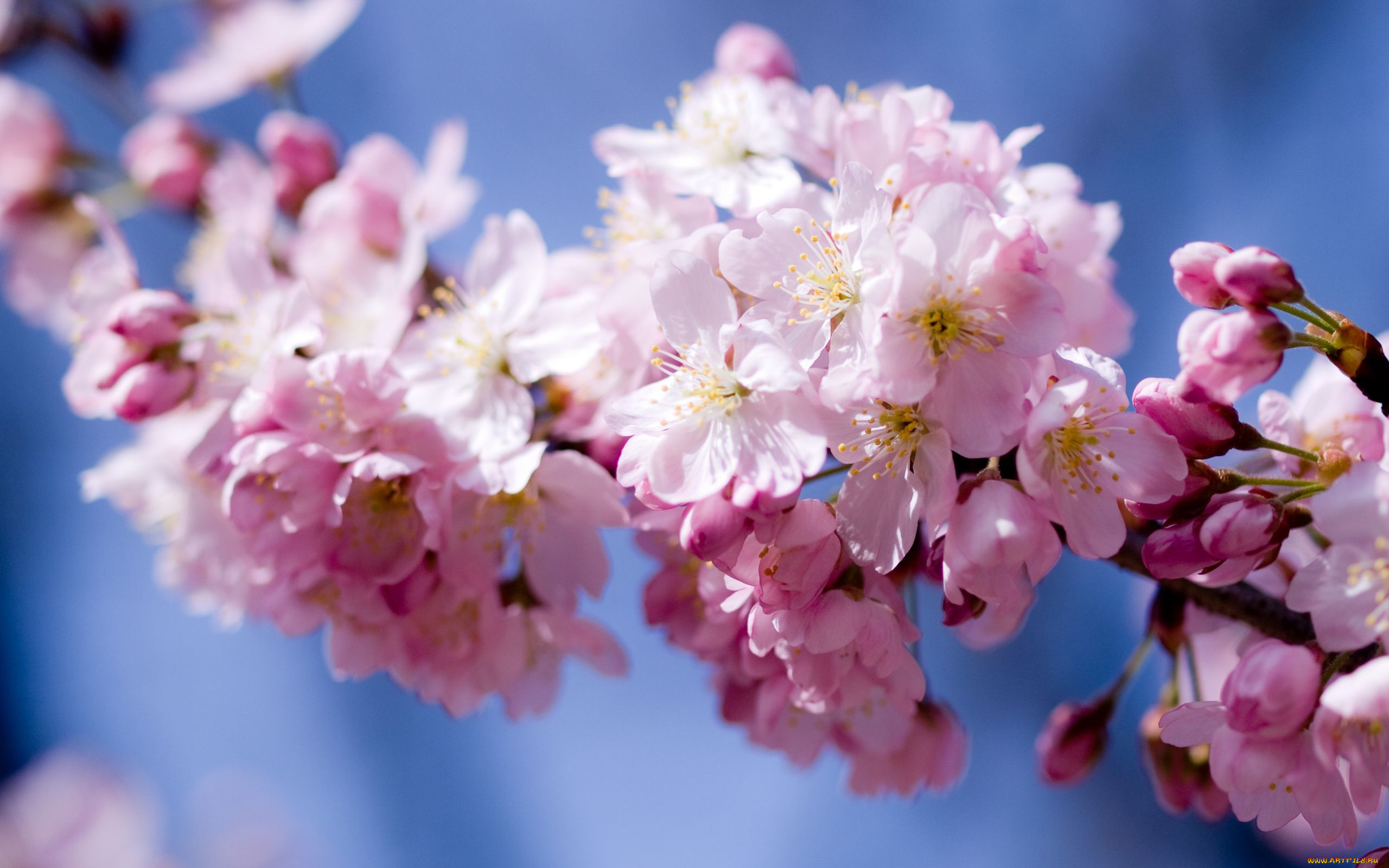 Именем никита, открытки с цветами вишни