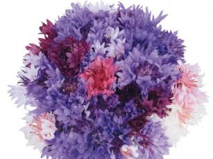 Картинка цветы васильки