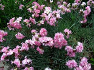обоя цветы, гвоздики, пушистый