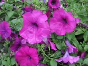 обоя цветы, петунии,  калибрахоа, сиреневый