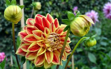 обоя цветы, георгины, пестрый, бутоны