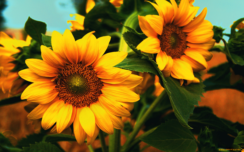 природа подсолнечник цветы nature sunflower flowers  № 2672090 без смс