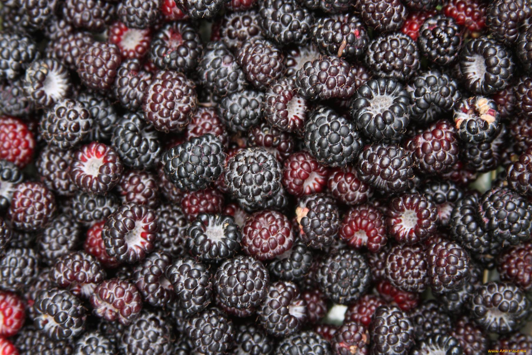 Черные ягоды бесплатно