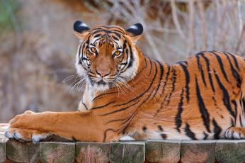 Картинка тигр животные тигры профиль взгляд лежит