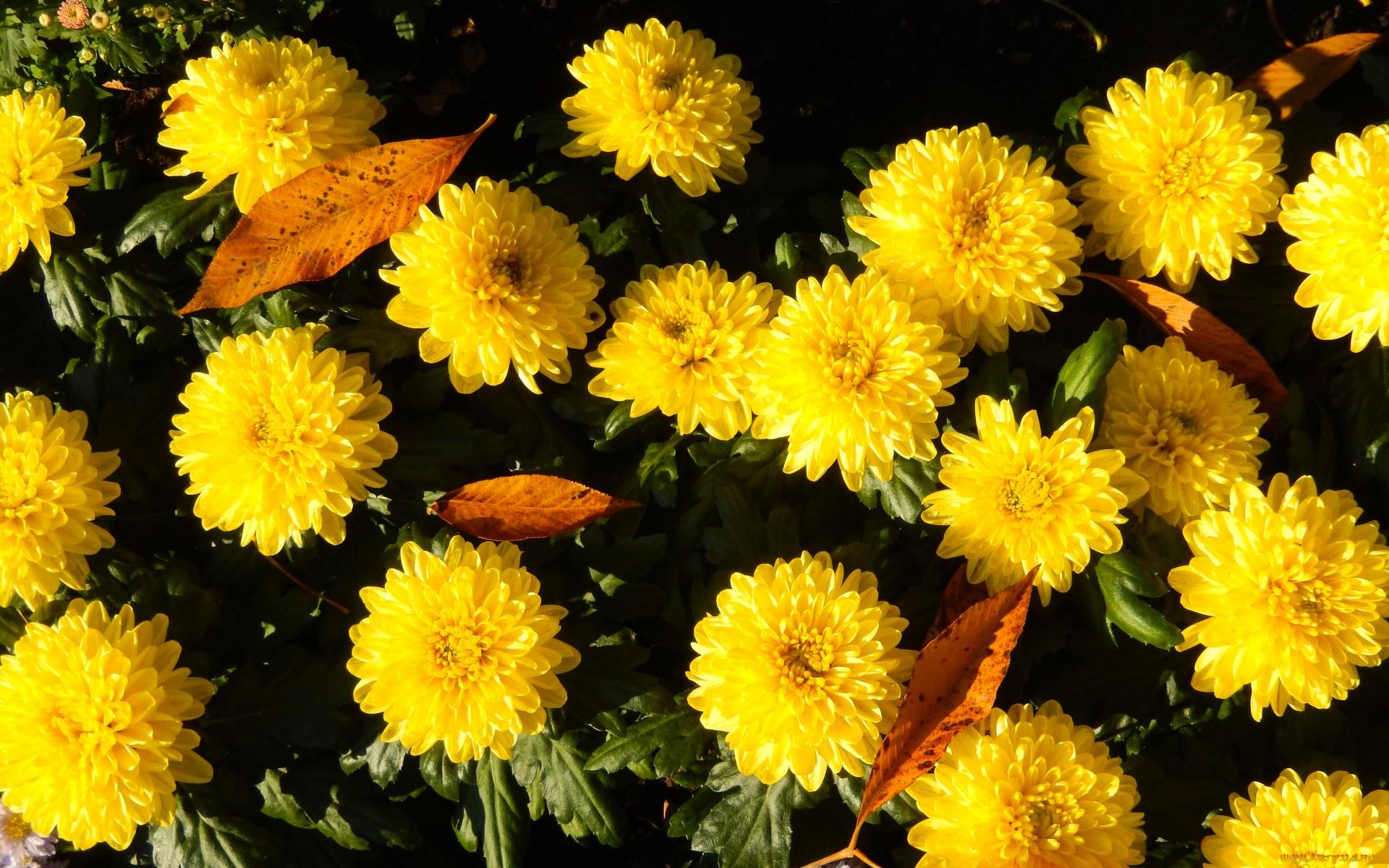 Первым, картинки осень цветы золотая